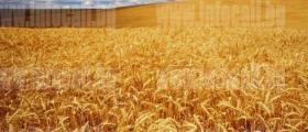 Арендуване на земеделска земя в Езерче-Цар Калоян