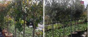 Декоративни дървета и храсти в Бургас и Айтос
