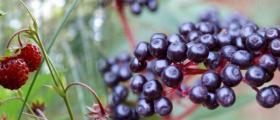 Изкупуване и преработка на билки в Соколица-Карлово