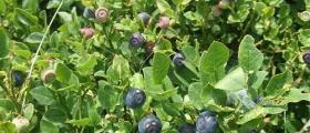 Изкупуване и преработка на плодове в Соколица-Карлово