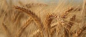 Изкупуване зърно в Разград