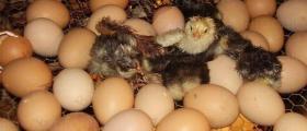 Люпене на еднодневни пилета в Поликраище-Горна Оряховица-Велико Търново