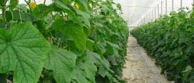Оранжерийно производство на краставици в Кресна