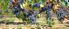 Отглеждане грозде в Еленово-Нова Загора