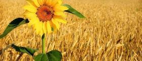 Отглеждане и търговия със слънчоглед в община Балчик