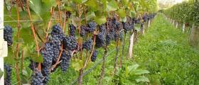 Отглеждане на десертно грозде ранен сорт в Свищов