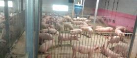 Отглеждане на елитни прасета във Враца