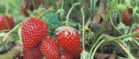 Отглеждане на ягоди в Недан-Павликени