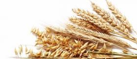 Отглеждане на житни култури в Дянково-Разград