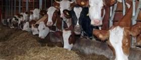 Отглеждане на крави в Бургас