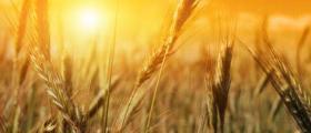 Отглеждане на пшеница и ечемик в Криводол