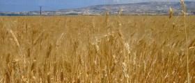 Отглеждане на пшеница и ечемик в Сливен