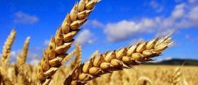 Отглеждане на пшеница в Бургас - ЗКПУ ТРАКИЯ Горно Езерово