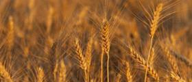 Отглеждане на пшеница в Добрич