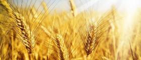 Отглеждане на пшеница в Горно Абланово-Опака
