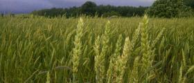 Отглеждане на пшеница в Липен-Монтана
