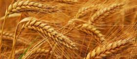 Отглеждане на пшеница в област Пазарджик
