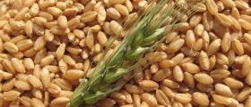 Отглеждане на пшеница в Стефан Караджово-Болярово