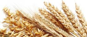 Отглеждане на пшеница в Стражица