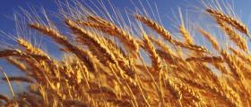 Отглеждане на пшеница Знаменосец-Раднево