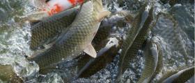 Отглеждане на риба в Пирдоп