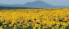 Отглеждане на слънчоглед в Бързица-Провадия