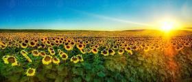 Отглеждане на слънчоглед в Бургас - ЗКПУ ТРАКИЯ Горно Езерово