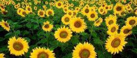 Отглеждане на слънчоглед в Добрич