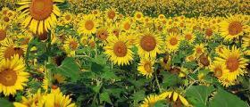 Отглеждане на слънчоглед в Кнежа-Плевен