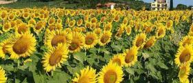 Отглеждане на слънчоглед в Криводол