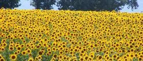 Отглеждане на слънчоглед в Стефан Караджово-Болярово