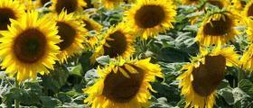 Отглеждане на слънчоглед в Стражица
