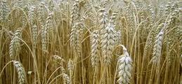 Отглеждане на царевица, пшеница и ечемик в село Кочово