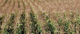 Отглеждане на царевица в Бързица-Провадия