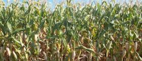 Отглеждане на царевица в Липен-Монтана
