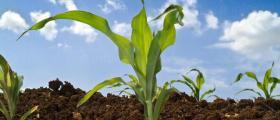 Отглеждане на царевица в Стражица