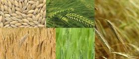Отглеждане на зърно и зърнени култури Светлен