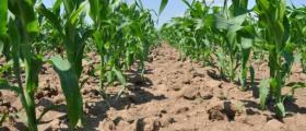 Отглеждане пшеница и царевица в Сливо поле
