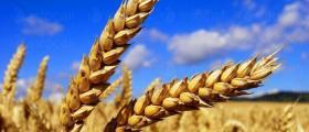 Отглеждане пшеница в Добрич