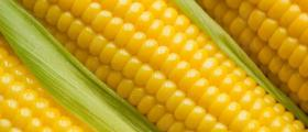 Отглеждане селскостопанска продукция Кнежа