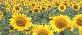 Отглеждане слънчоглед в Монтана