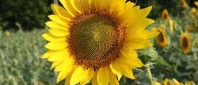 Отглеждане слънчоглед в Ореховица-Долна Митрополия
