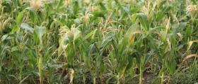 Отглеждане царевица в Монтана