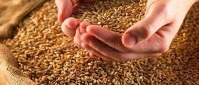 Отглеждане зърнени култури в Жълти бряг-Хасково