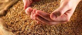 Отглеждане зърнени култури в община Добрич
