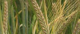Отглеждане зърнени култури в Пет могили-Шумен