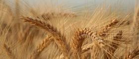 Отглеждане зърнени култури в Трявна