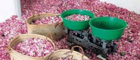 Преработка на маслодайна роза в Казанлък