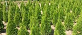 Продажба на декоративна растителност в Бургас