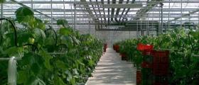 Продажба на оранжерийни краставици в Симитли и София-Дружба
